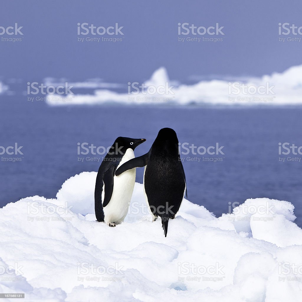 Penguins in Love Antarctica stock photo