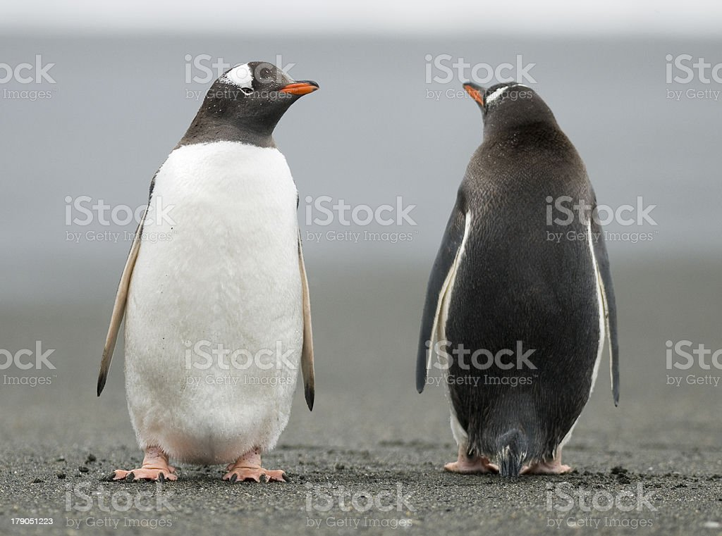 Penguins looking in opposite directions stock photo