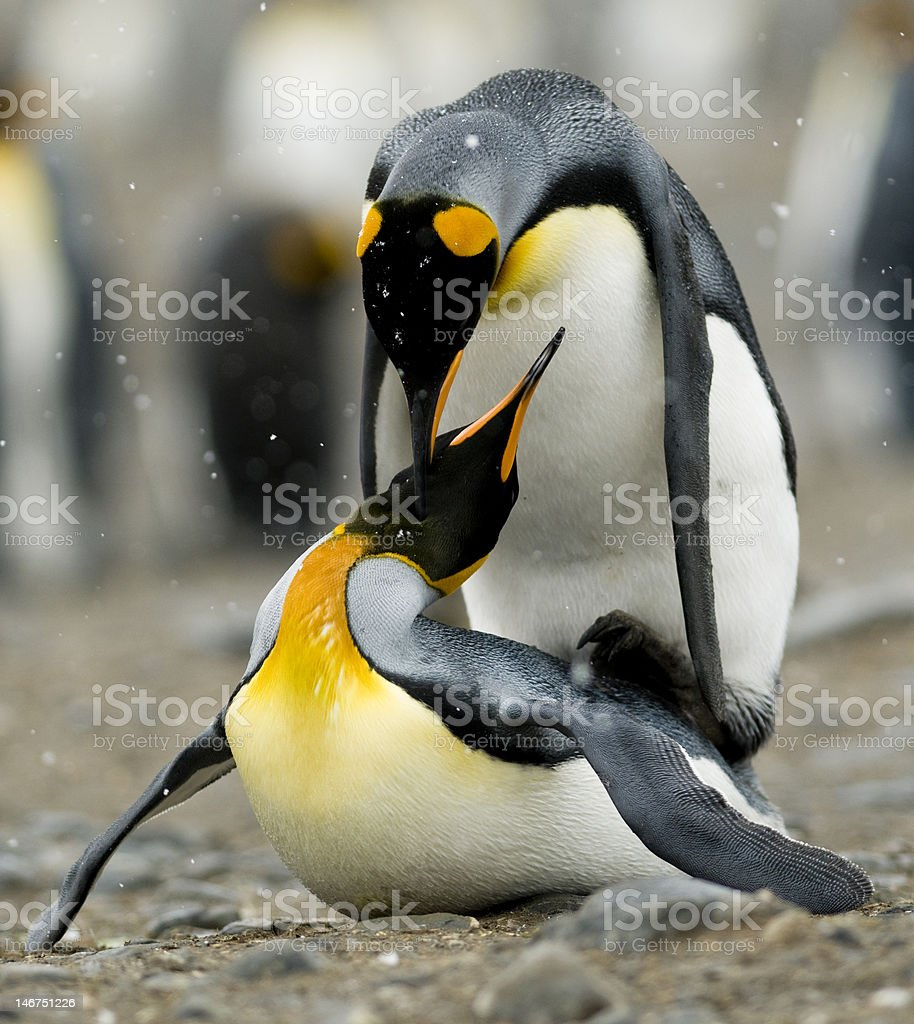 Penguins mating in the snow stock photo