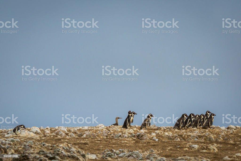 Penguins on Ballestas Islands, Peru. stock photo