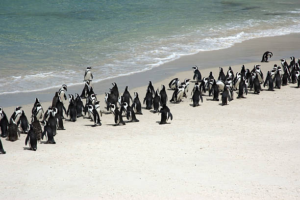 Penguins on the Beach Penguins marching on the beach aegis stock pictures, royalty-free photos & images