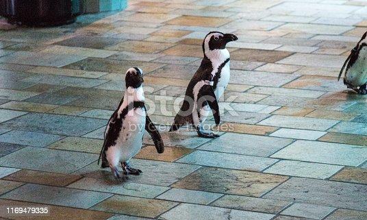 Penguins march through the aquarium crowd at Monterey Bay Aquarium.