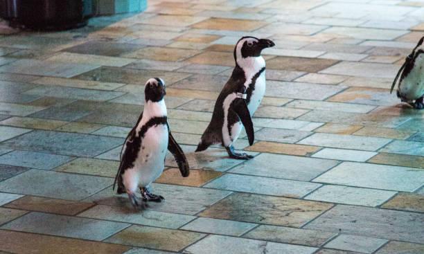 Pinguine auf dem Weg – Foto