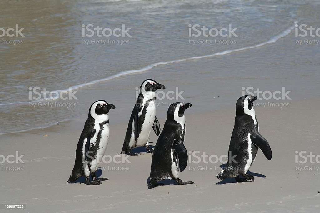 4 penguins royalty-free stock photo