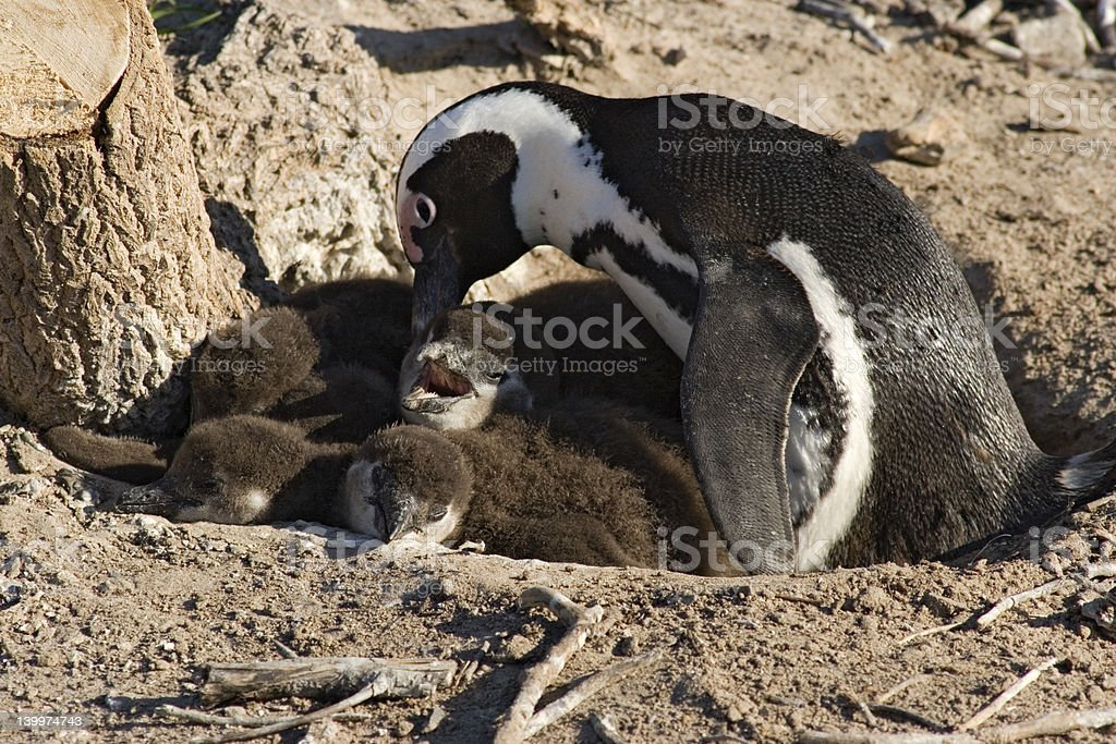 Penguins royalty-free stock photo