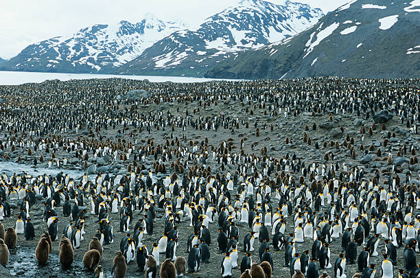 Penguins Large colony of Penguins emperor penguin stock pictures, royalty-free photos & images