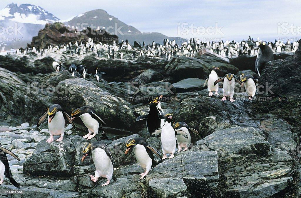 Penguins royalty-free stock photo