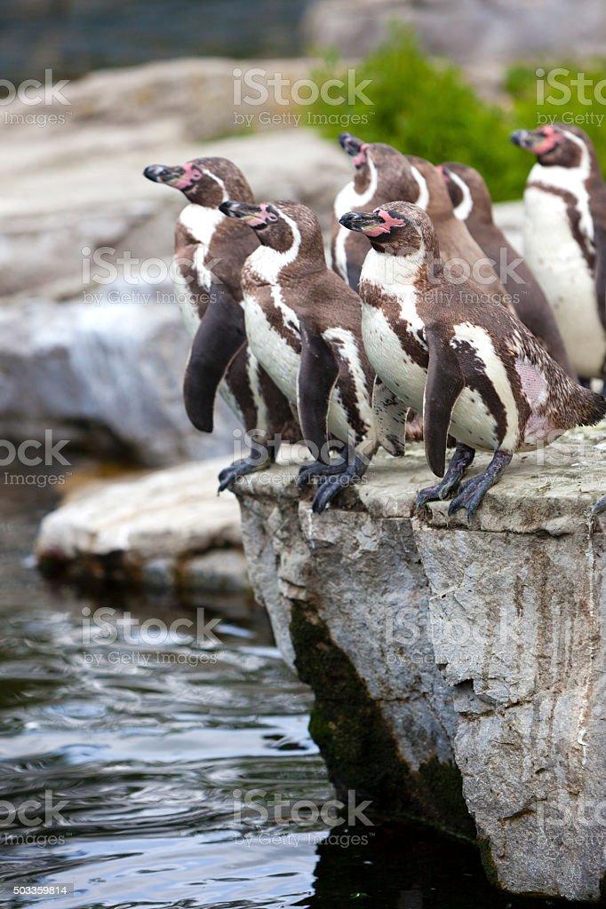 Penguins. stock photo