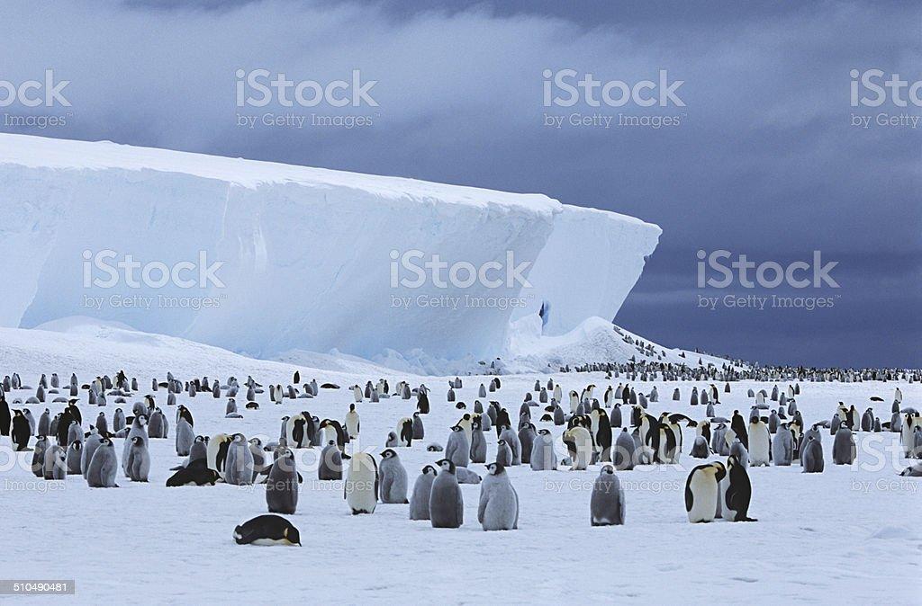 Penguins stock photo
