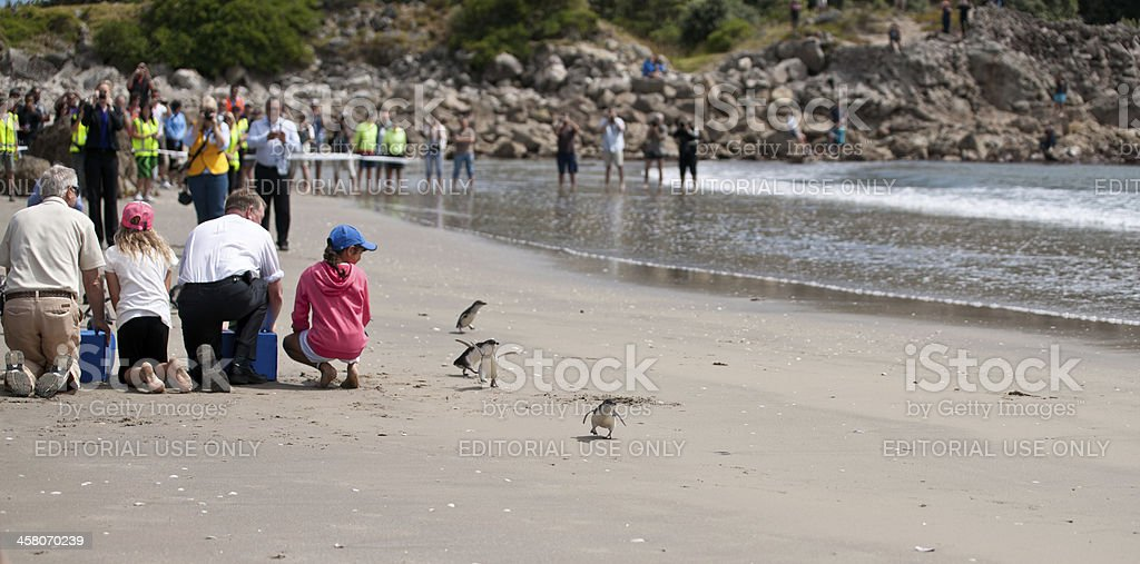 Penguins rush for the water. stock photo