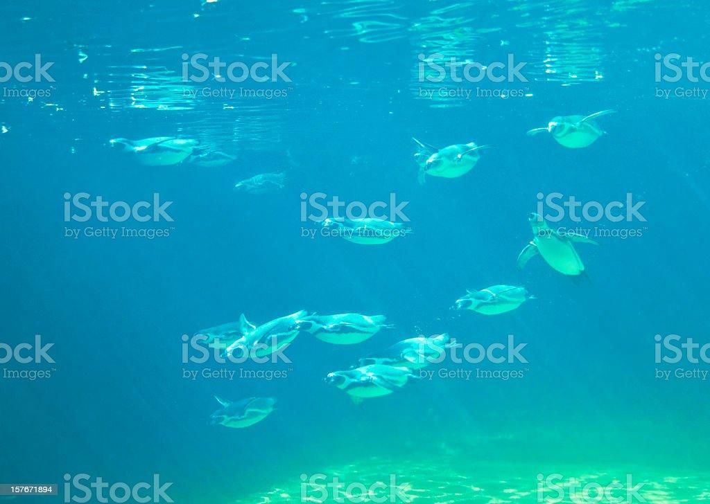 Penguins swarm underwater royalty-free stock photo