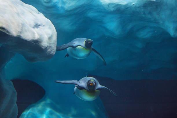 pinguïns zwemmen onder water - pinguins swimming stockfoto's en -beelden