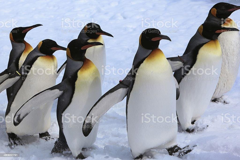 Penguins walk stock photo