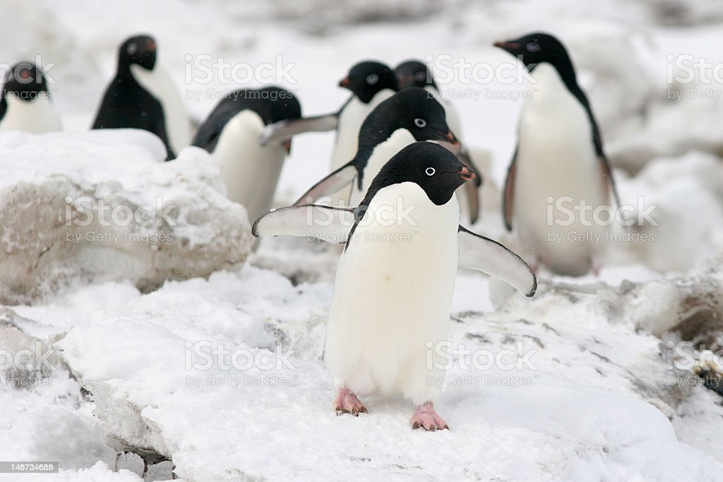 Penguins Walking In Line stock photo