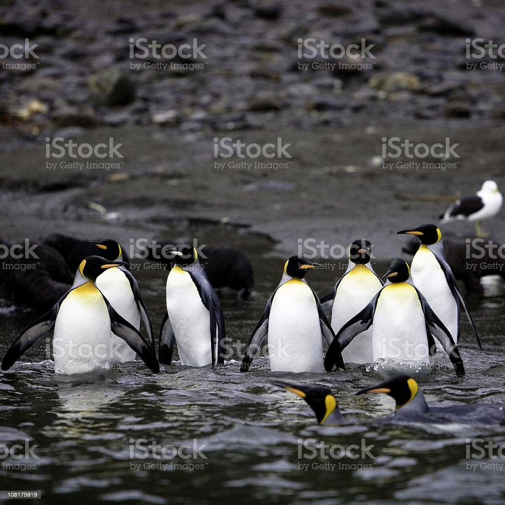Penguins Walking into Water royalty-free stock photo