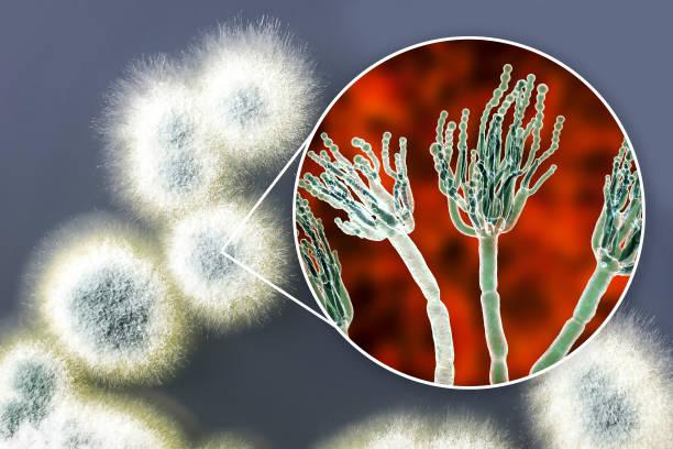 penicillium schimmelpilze, illustration und foto von kolonie auf nährstoffmedium gewachsen - dextrose stock-fotos und bilder