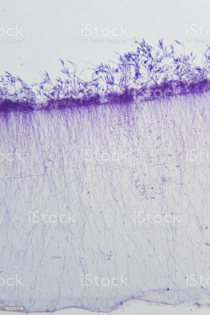 Penicillium under microscope royalty-free stock photo