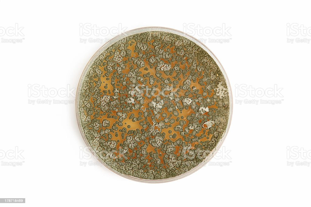 Penicillum fungi on agar plate over white royalty-free stock photo