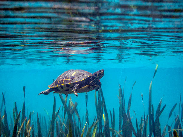 Peninsula Cooter Turtle Swimming stock photo