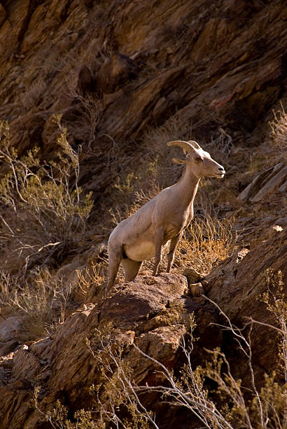 an analysis of the symbol of california desert the peninsular bighorn sheep