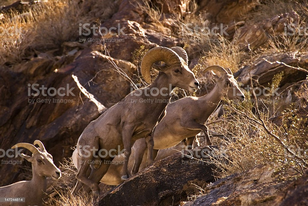 Peninsular Bighorn Sheep stock photo