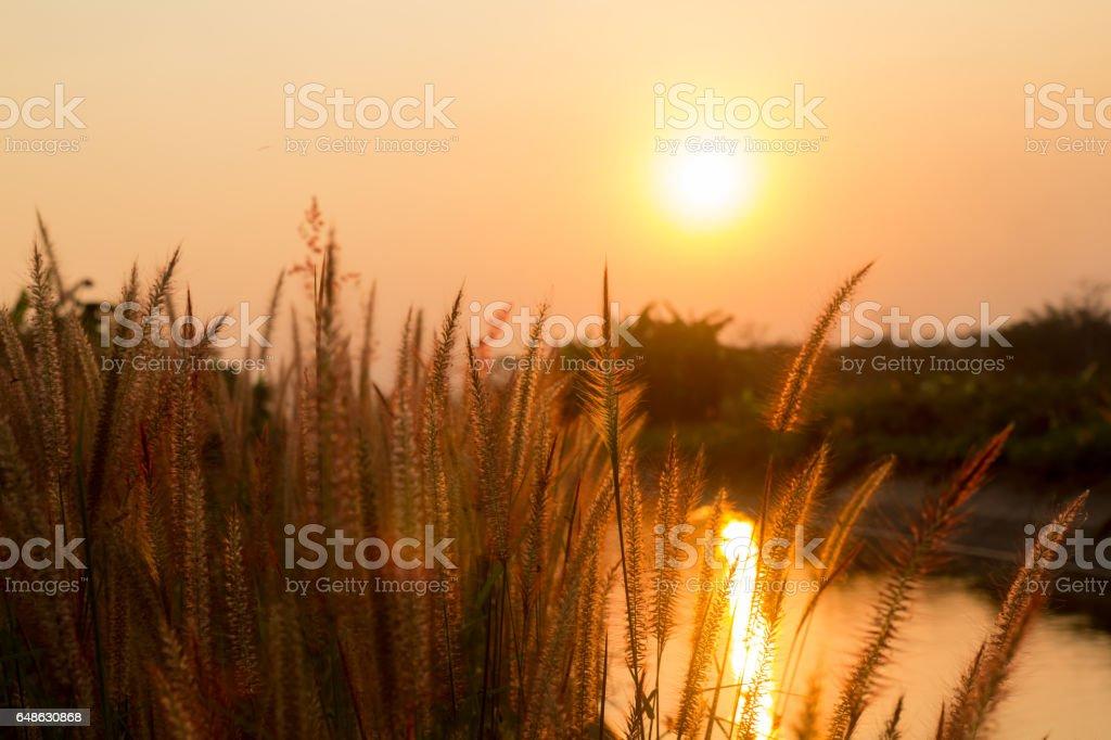 Pennisetum Blume in warmen Sonnenuntergang – Foto