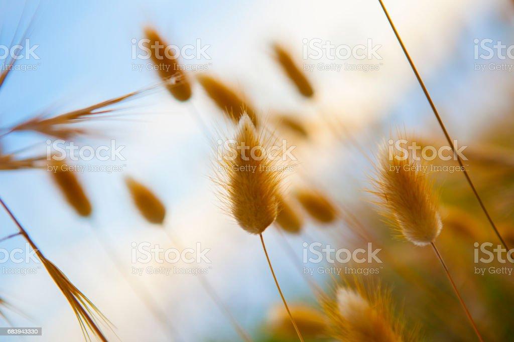 pennisetum - Poaceae stock photo