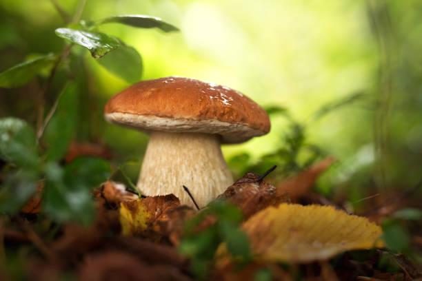 Penny bun mushroom, boletus edilus stock photo