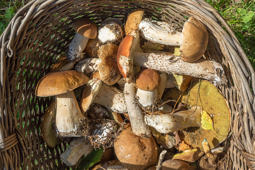 Penny bun (Boletus edulis) mushrooms in basket