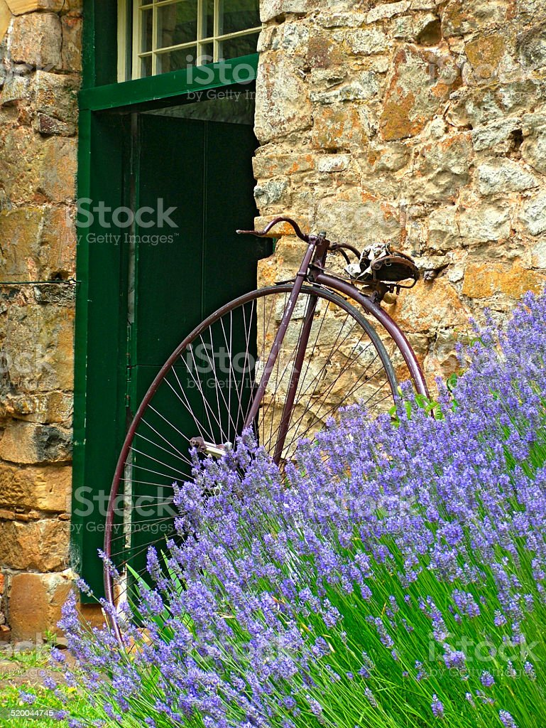 Penny farthing monocycle lavender stone wall stock photo