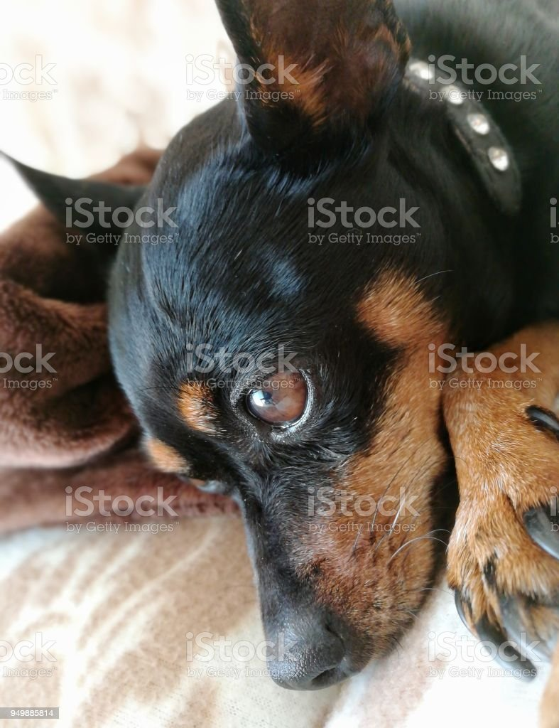 Pensierous dog - foto stock
