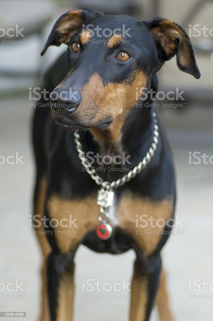 Pensive Doberman royalty-free stock photo