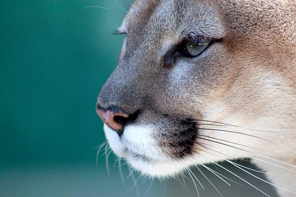 nachdenklich florida panther - schwarzer puma stock-fotos und bilder