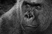 Portrait of a lowland silver back gorilla