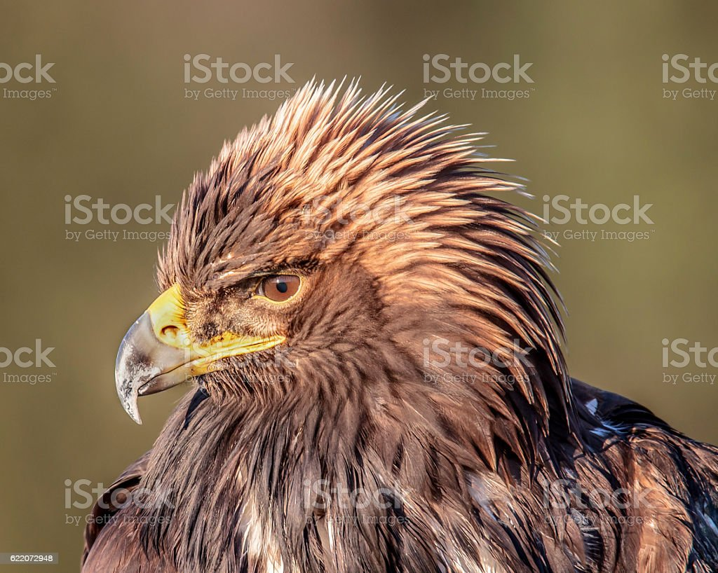 Pensive Young Golden Eagle stock photo