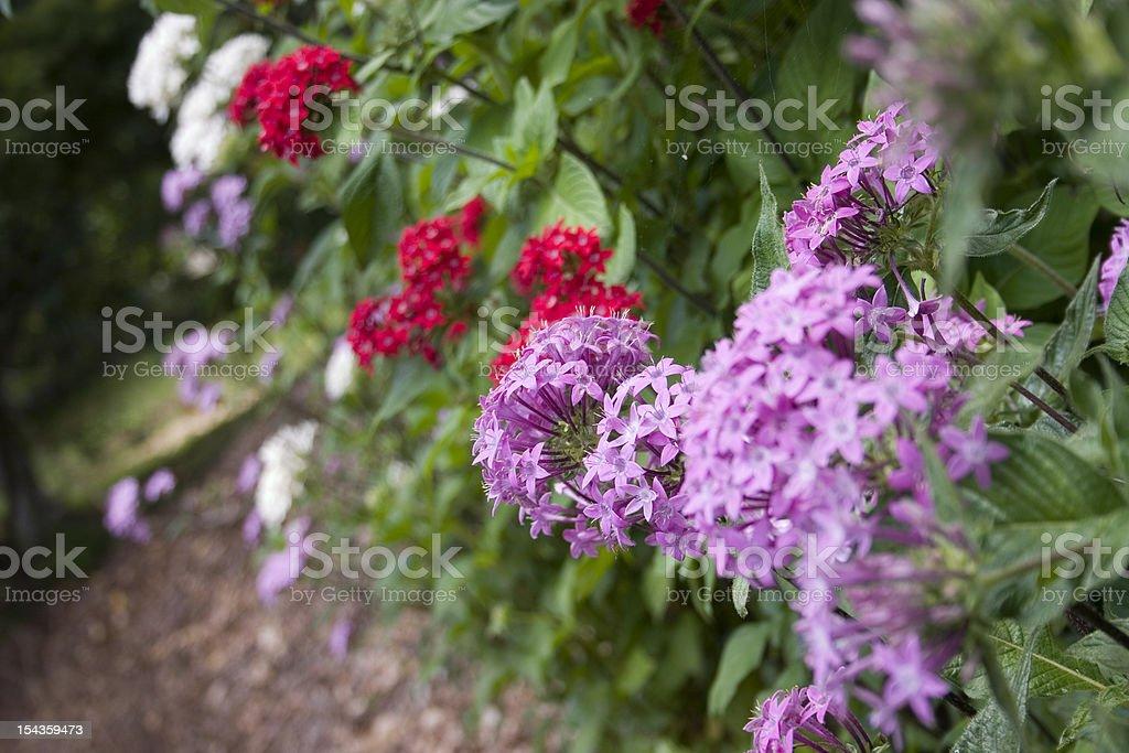 Penta lanceolata Small Mauve Flowers stock photo