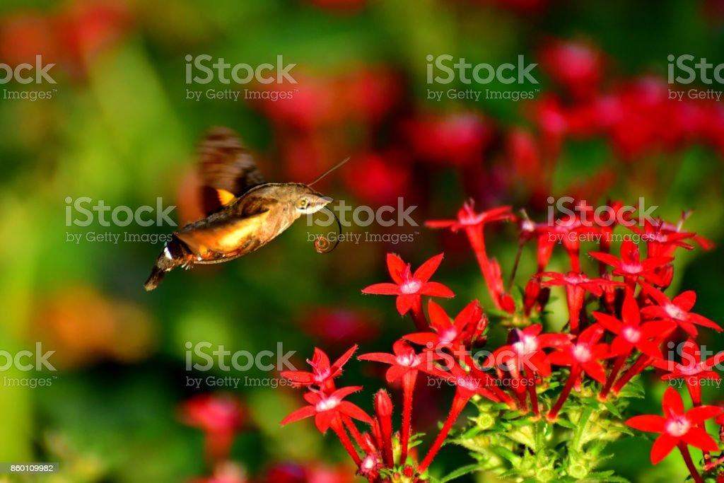 Pentas lanceolata and Hummingbird Hawk-Moth stock photo