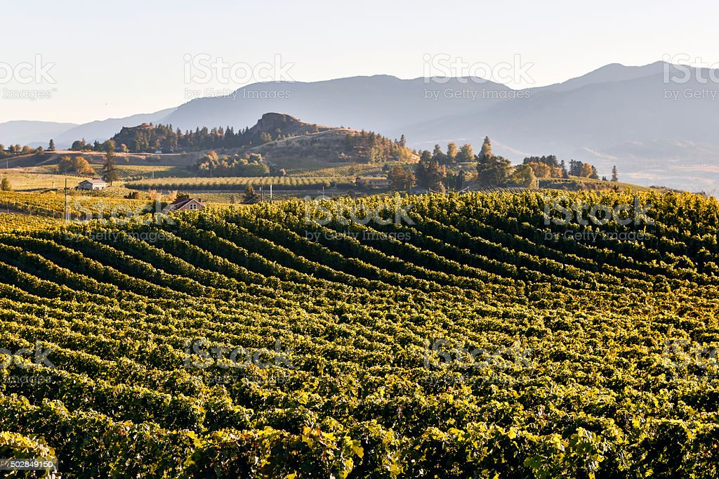 Penticton Naramata Okanagan Valley Vineyard stock photo