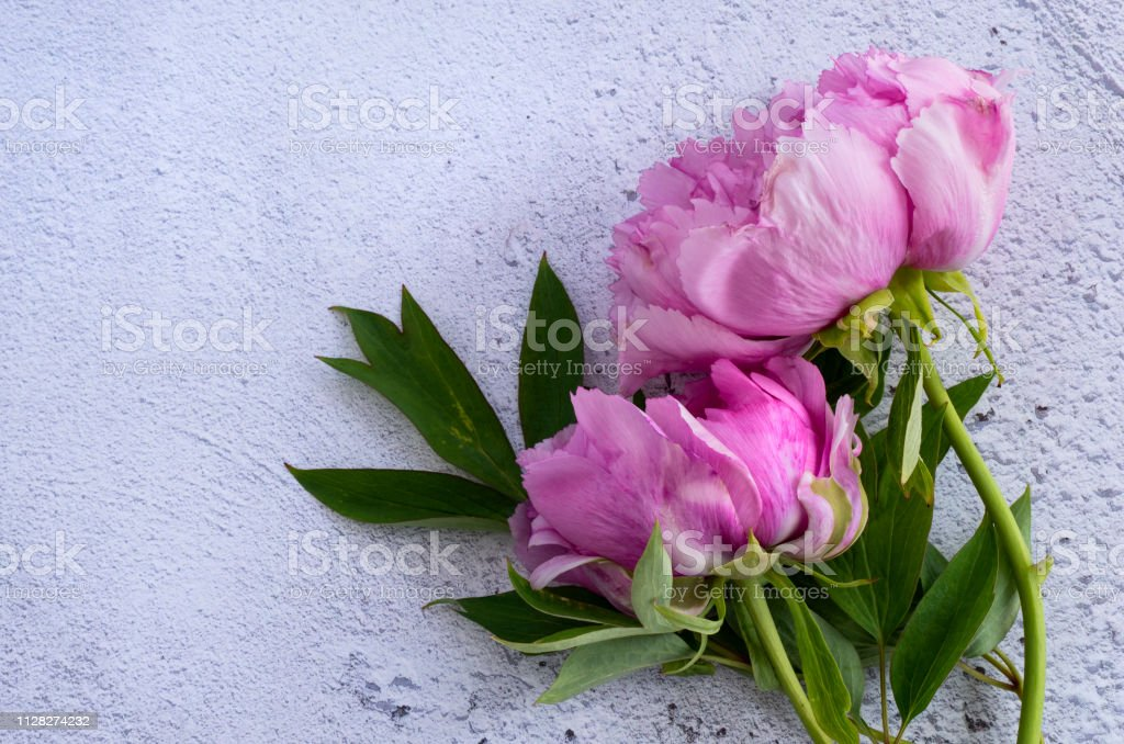 Peonies against a white background stock photo