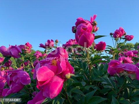 Pink Peonies in Flower garden.  iPhone