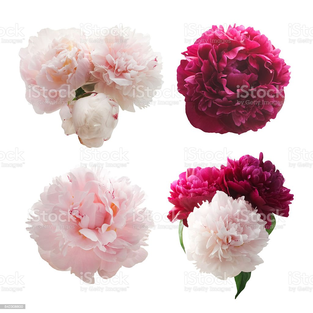 Peonies Flower Isolated On White Background Stock Photo More
