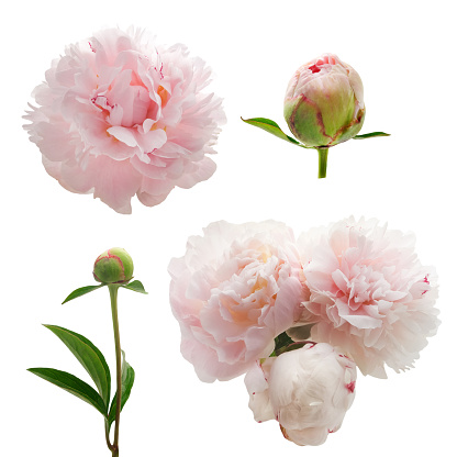 istock Peonies flower isolated on white background 542308846