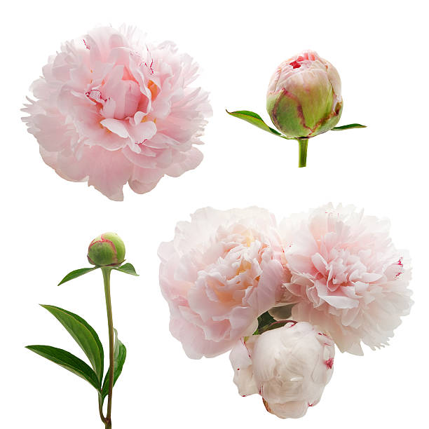 peonies flower isolated on white background - 芽 個照片及圖片檔