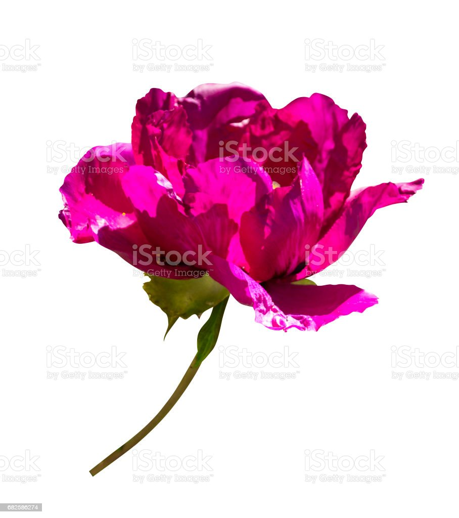 Peonies. Flowers peonies. Burgundy peony bud isolated on white background. stock photo