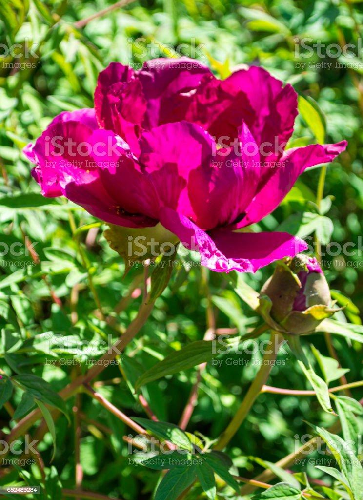 Peonies. Flowers peonies. Flowering bush of pink tree peony Стоковые фото Стоковая фотография