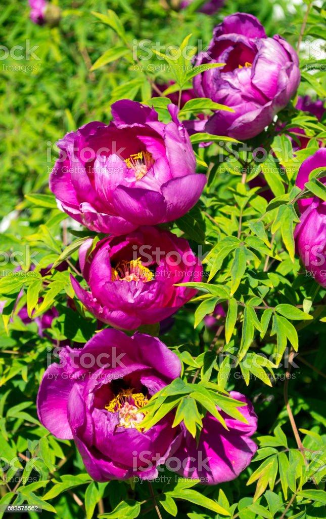 Peonies. Flowers peonies. Flowering bush of pink tree peony stock photo