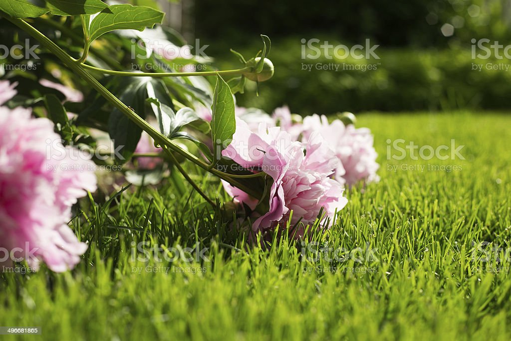 Peonies Laying on the Grass stock photo