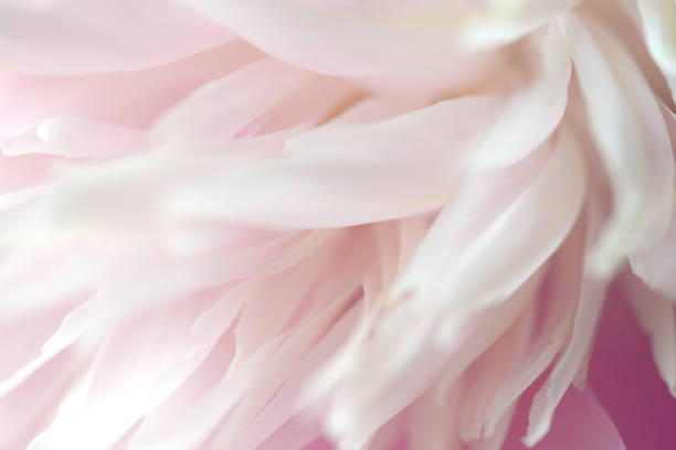 peonies macro - single flower stock photos and pictures