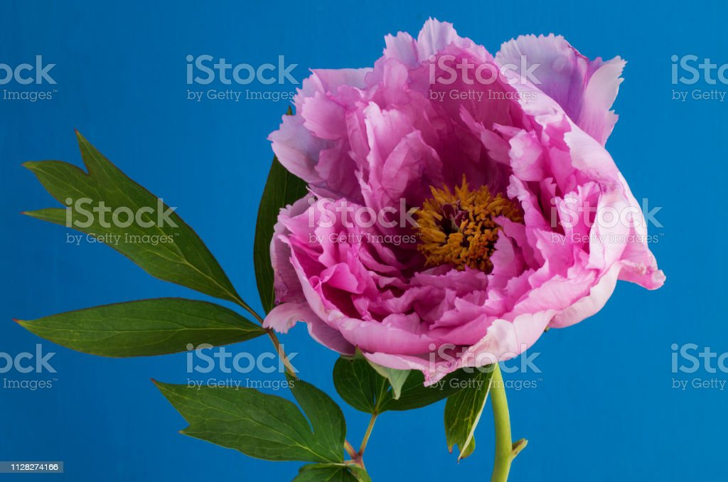 Peony against a blue background stock photo