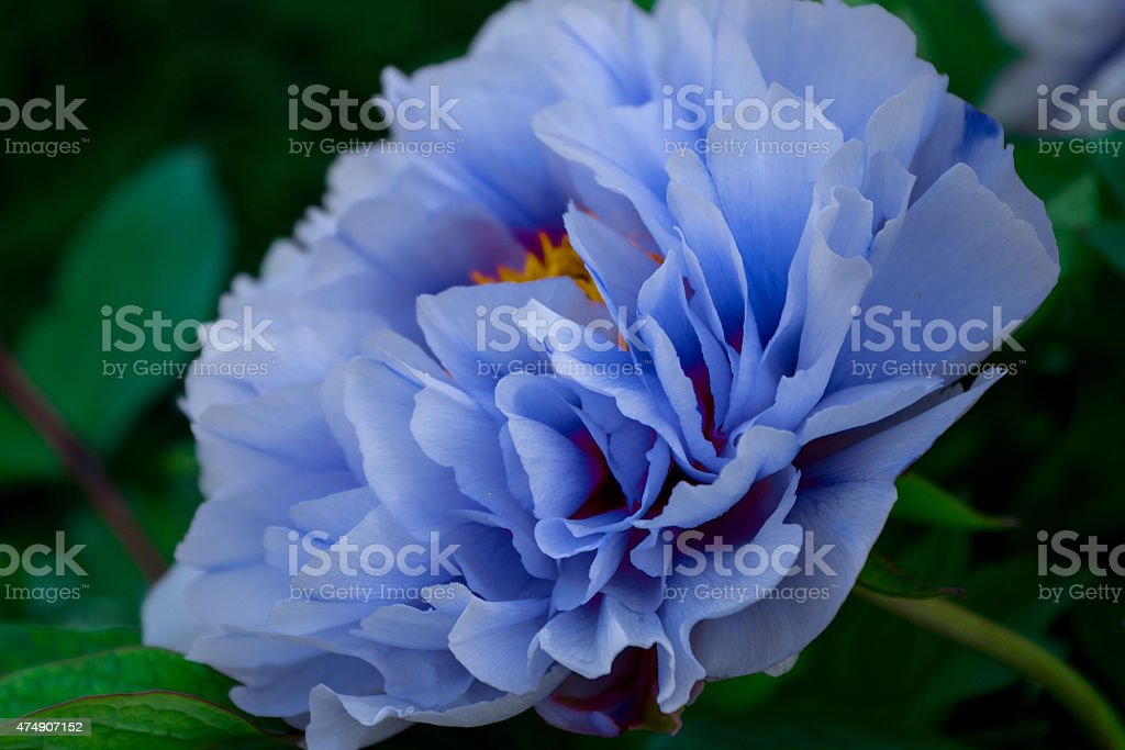 Peony and the scar stock photo